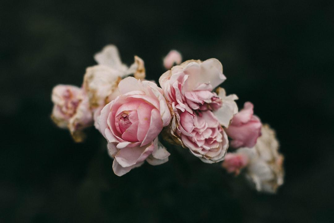 Pink Roses In Bloom During Daytime - unsplash