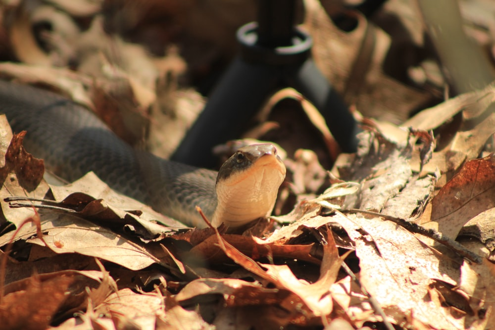 black and white snake on dried leaves