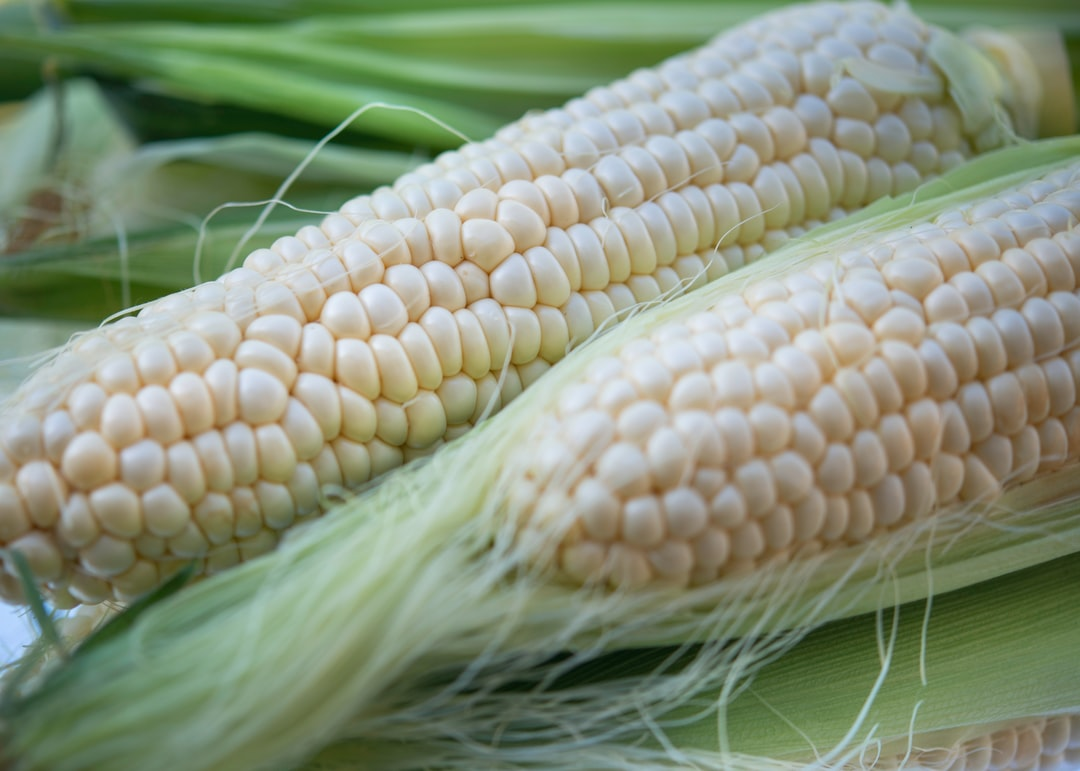 Fresh corn on the cob shot close up.