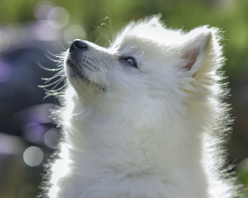 white pomeranian puppy in close up photography
