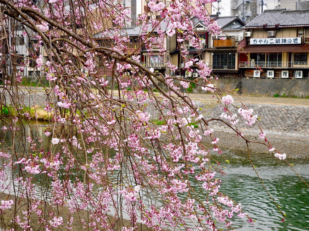 pink cherry blossom tree near body of water during daytime