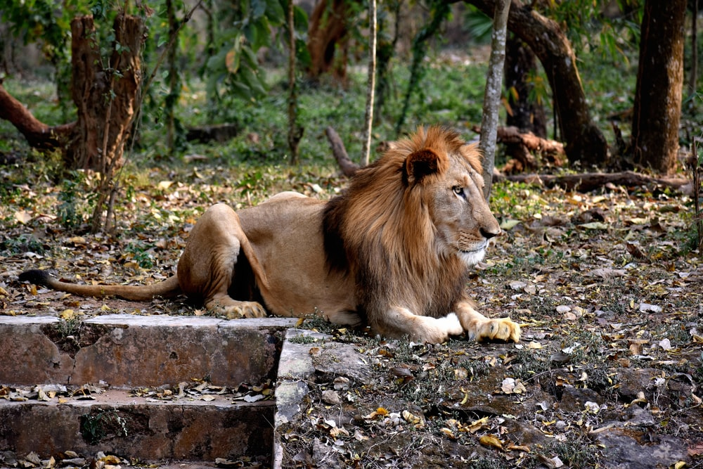 lion lying on gray concrete floor during daytime