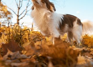 white and brown long coat small dog on brown dried leaves during daytime