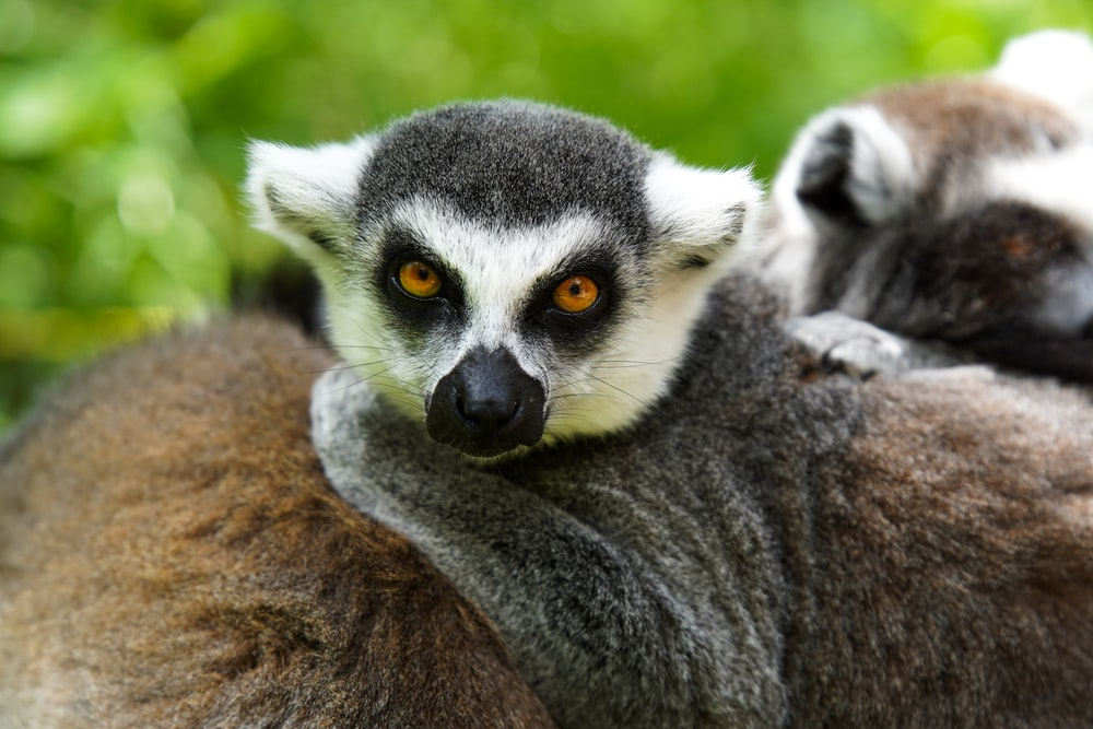 black and white lemur on brown rock