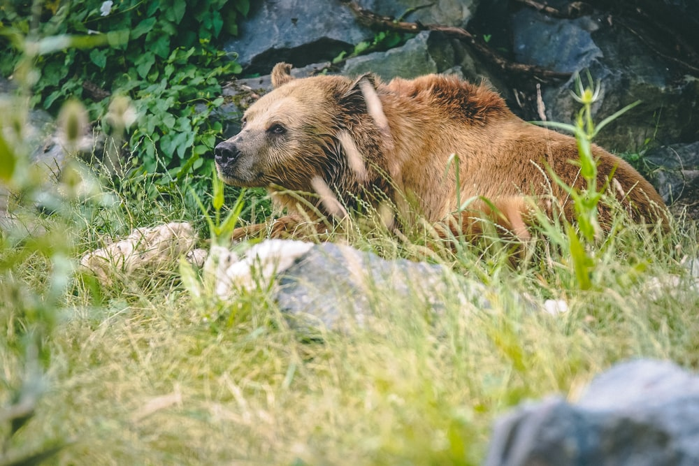 brown bear lying on green grass during daytime