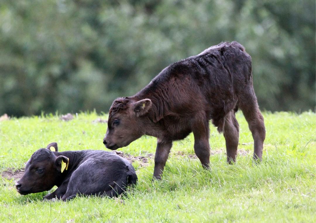 Newborn Dexter cattle calves