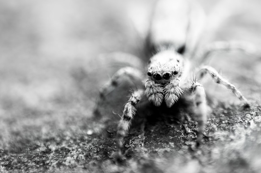 grayscale photo of jumping spider