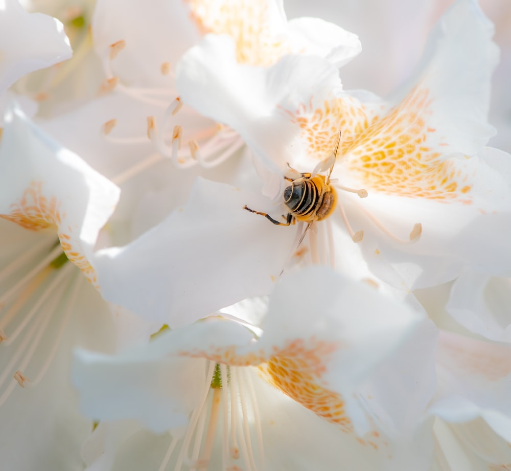 black and yellow bee on white flower