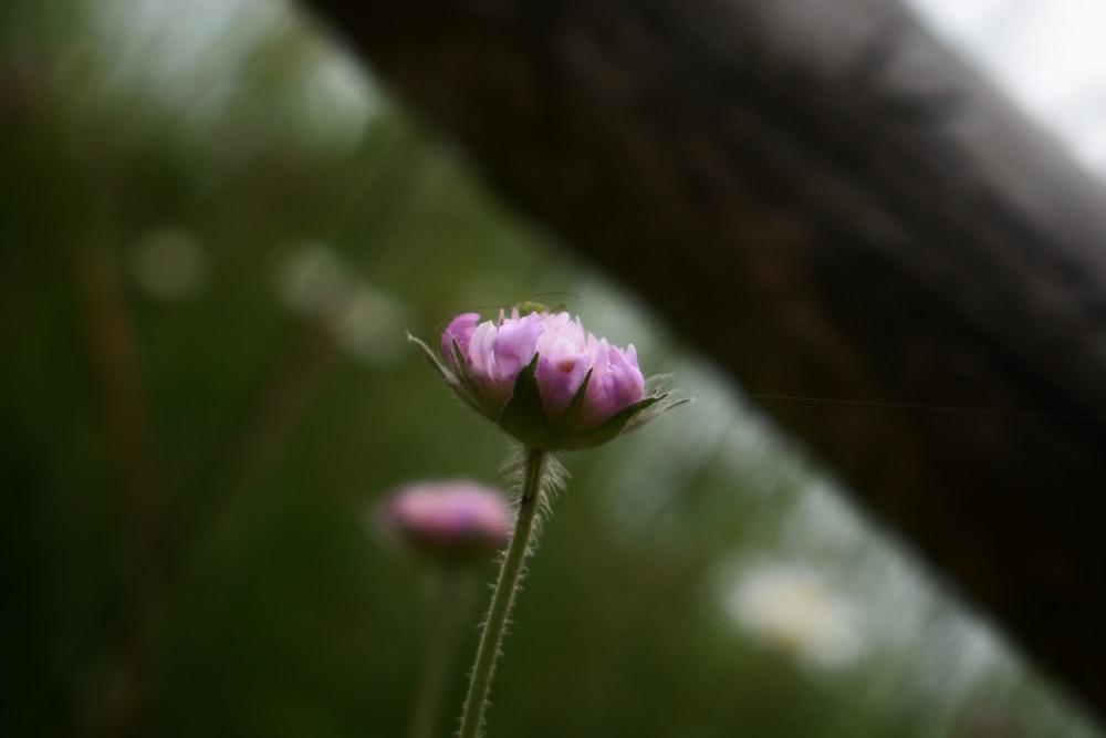 pink flower bud in tilt shift lens