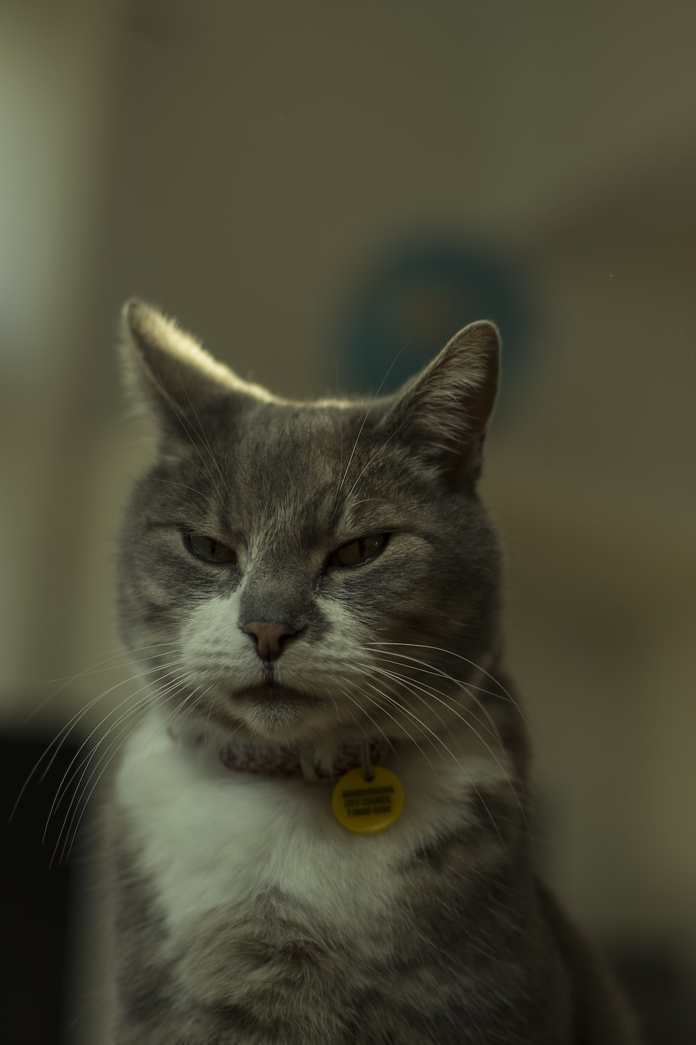 white and grey cat with yellow eyes