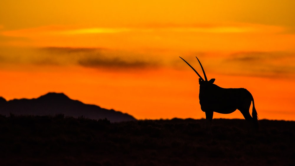 silhouette of a animal on a hill during sunset