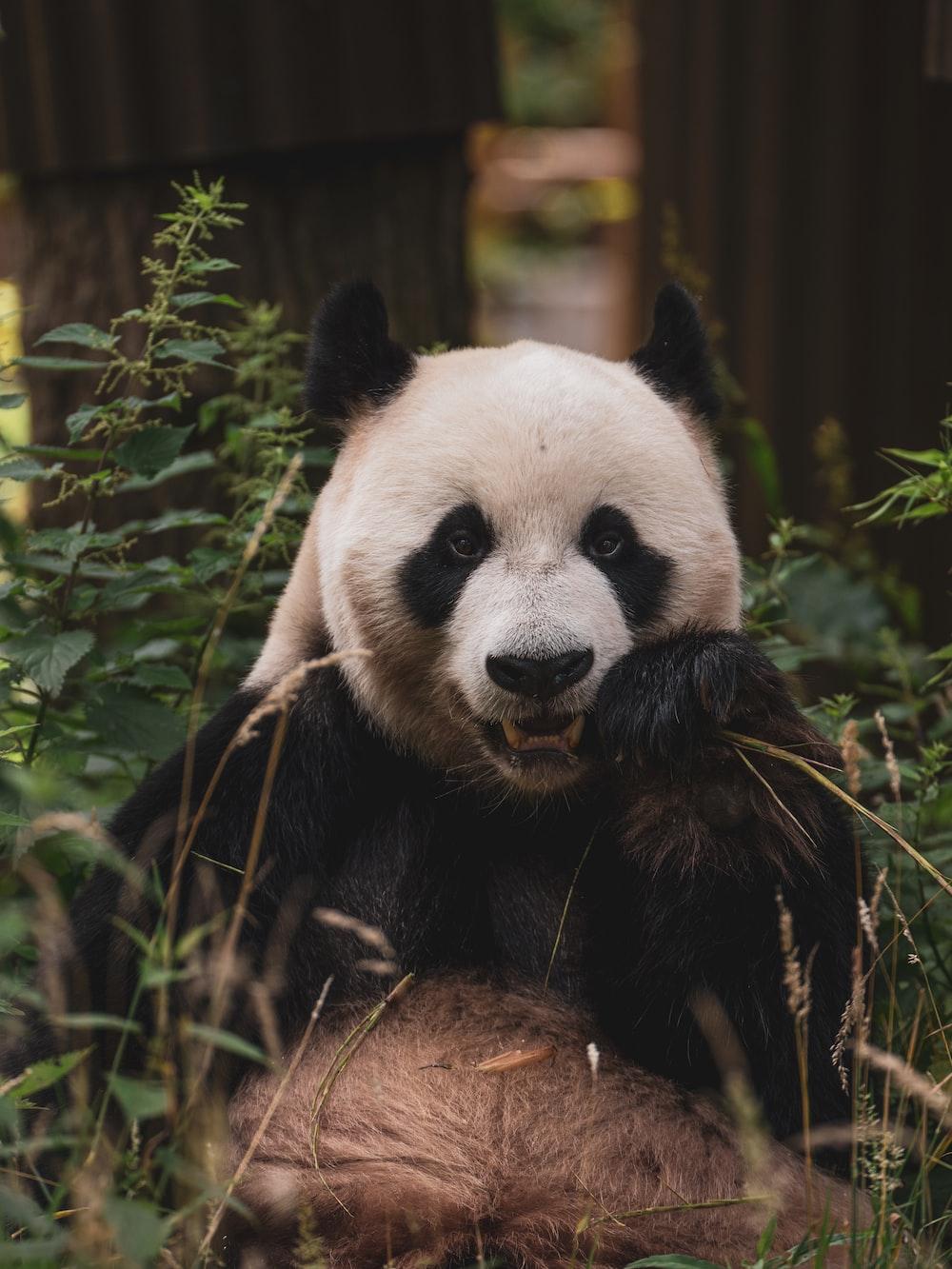 panda bear on green grass during daytime
