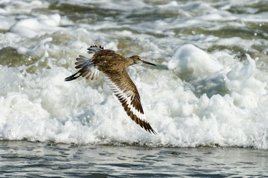 The Willet in Flight