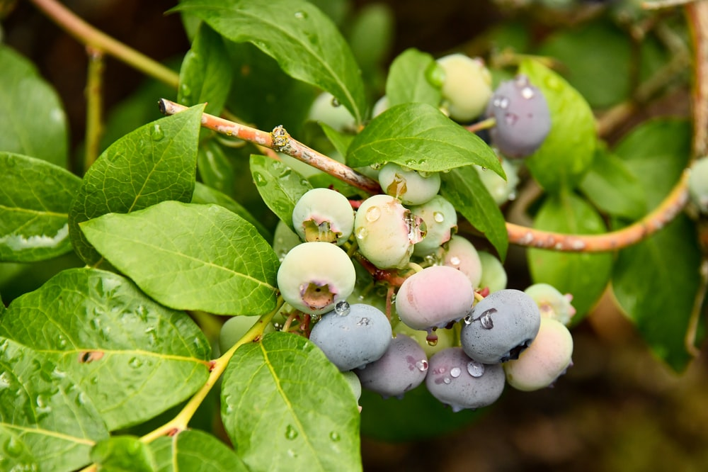purple round fruits on green leaves