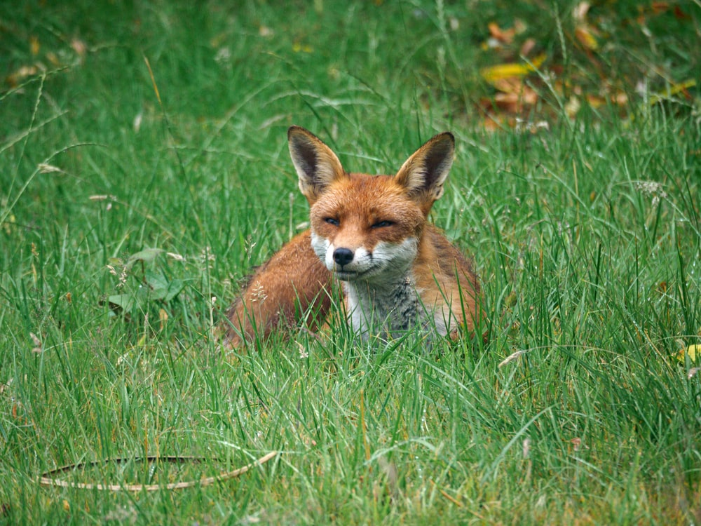 brown fox on green grass during daytime