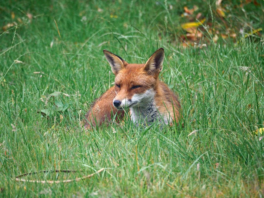 urban fox, red fox, red foxes, wildlife, urban wildlife, animals, scavenger, fox, london, garden,
