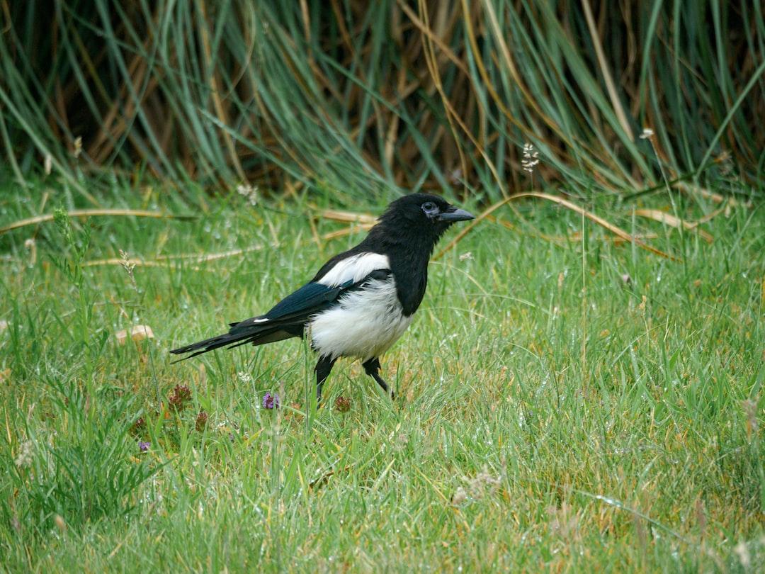 magpie, bird, wildlife, urban wildlife, animals, london, garden,