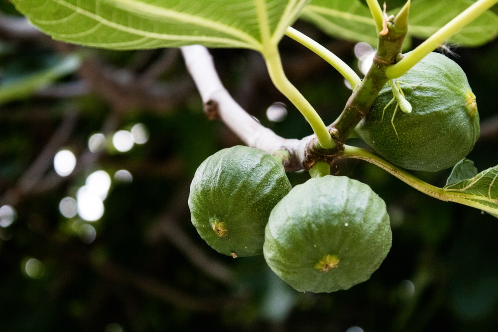 green round fruit on brown tree branch