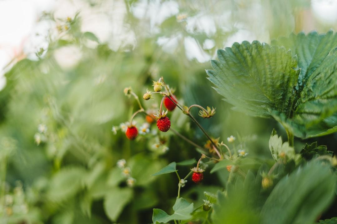 Garden strawberries in a small farmers garden.