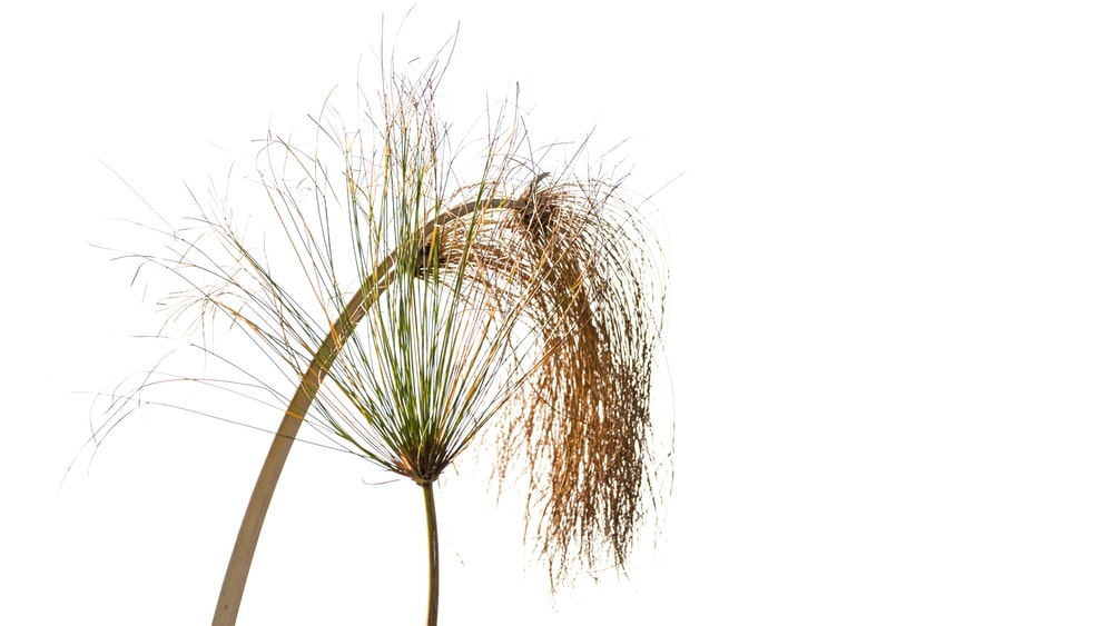 brown and green plant on white background