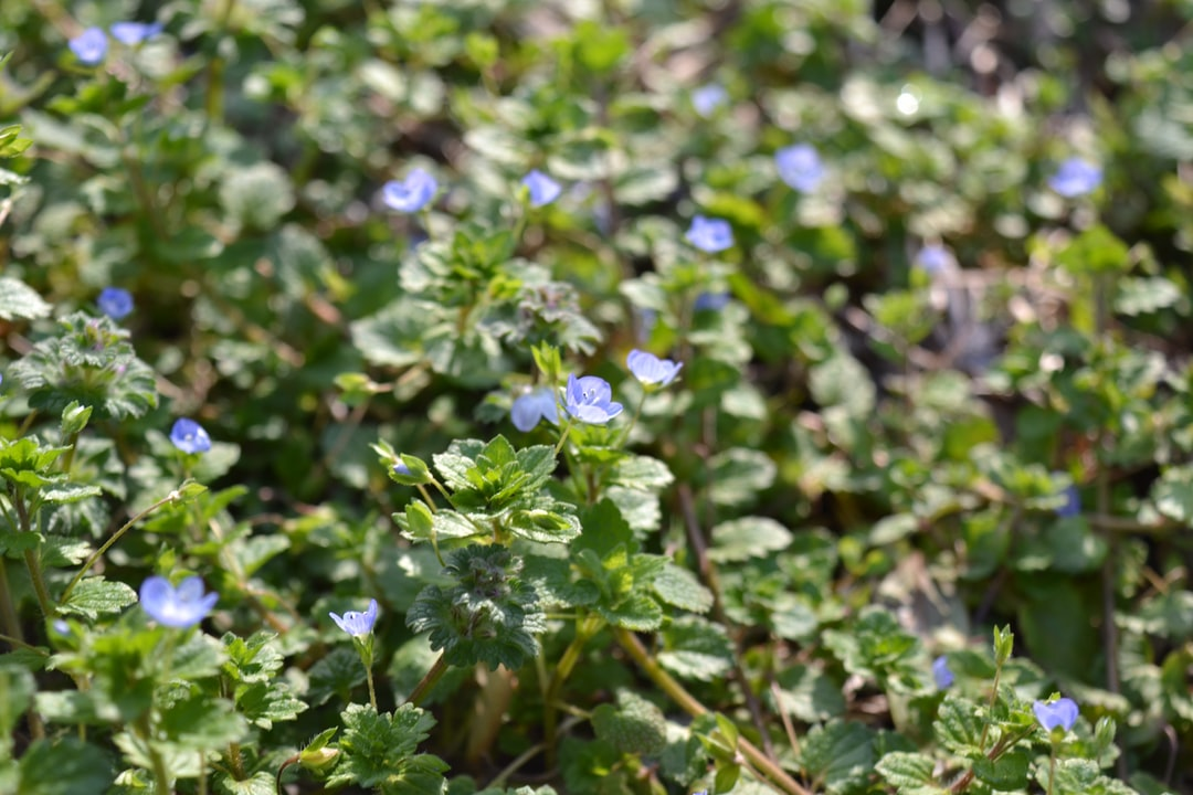 Speedwell Persica Blue