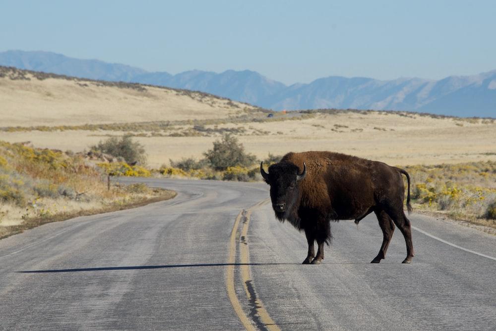 brown bison on gray asphalt road during daytime