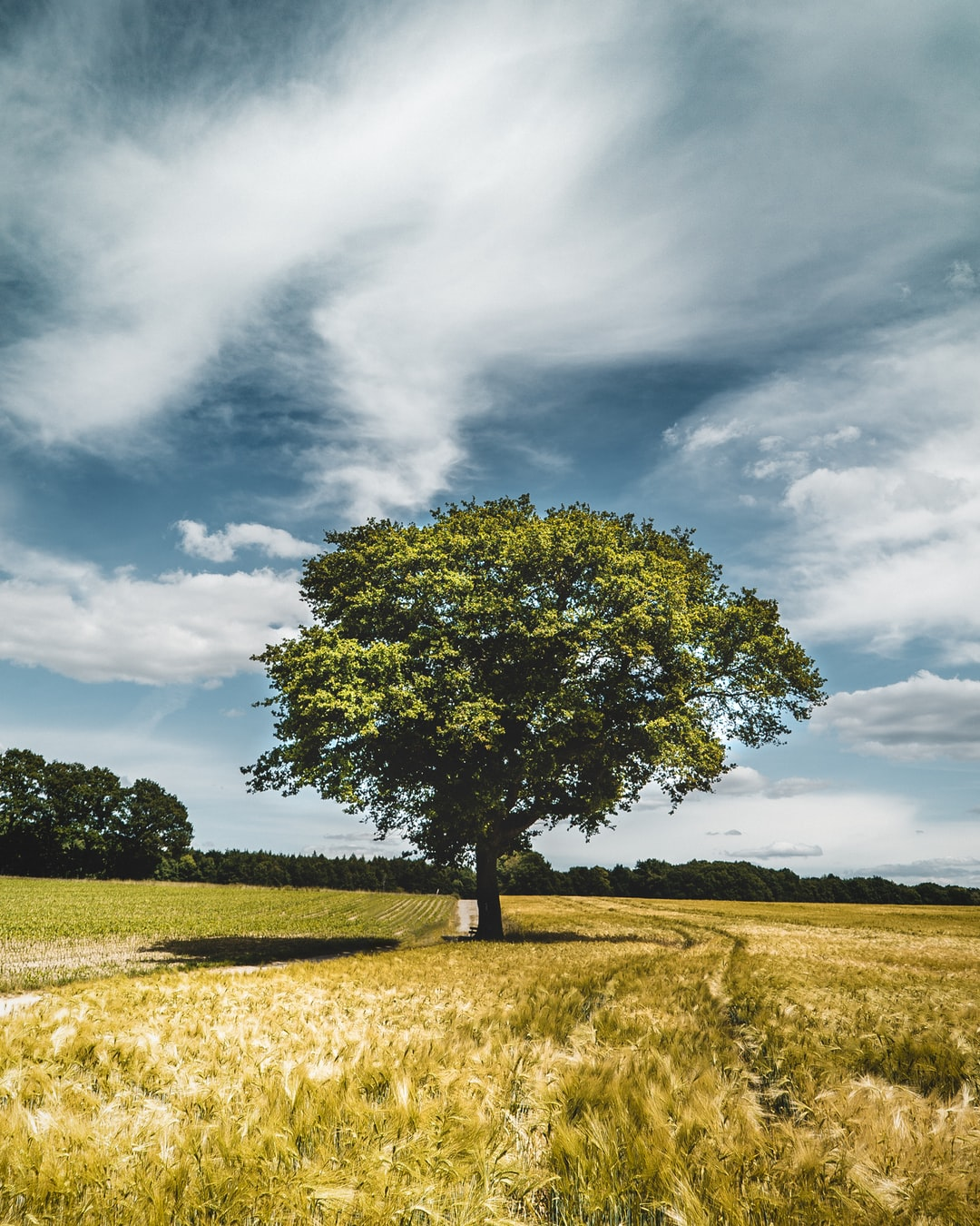 A single tree in the middle of giant wheat fields, completely untouched by humankind.