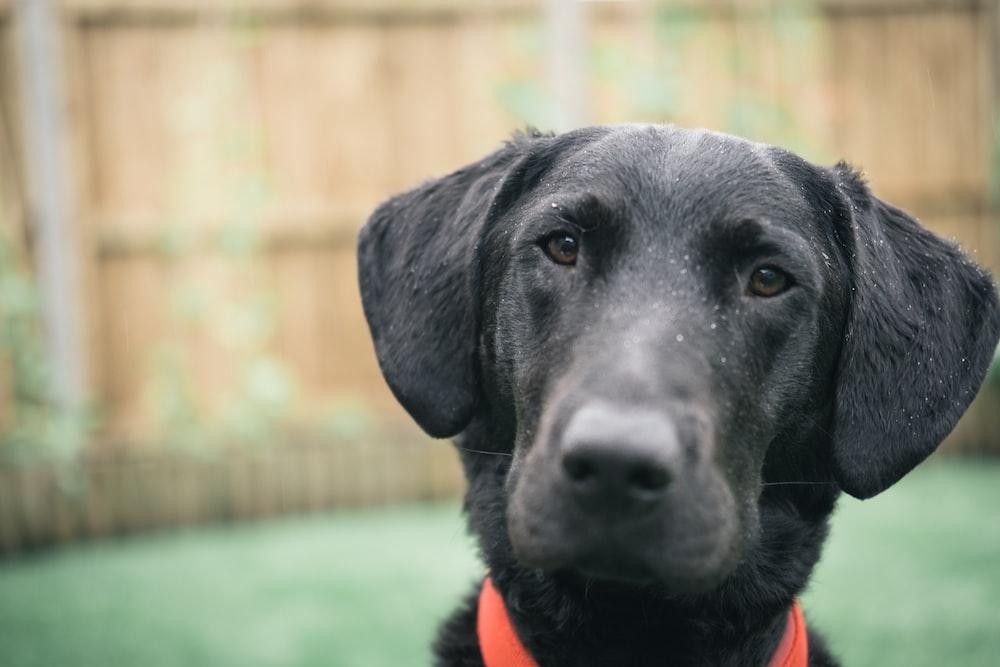 black labrador retriever with orange collar