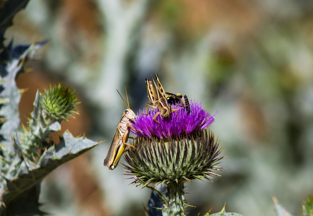 brown grasshopper perched on purple flower in close up photography during daytime