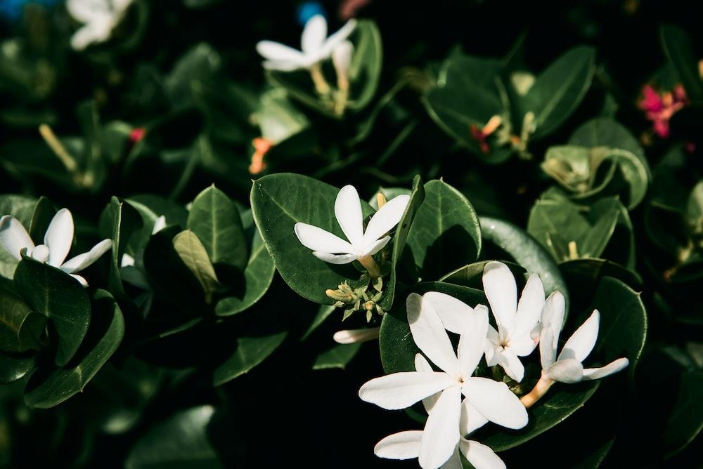 white 5 petaled flower in bloom