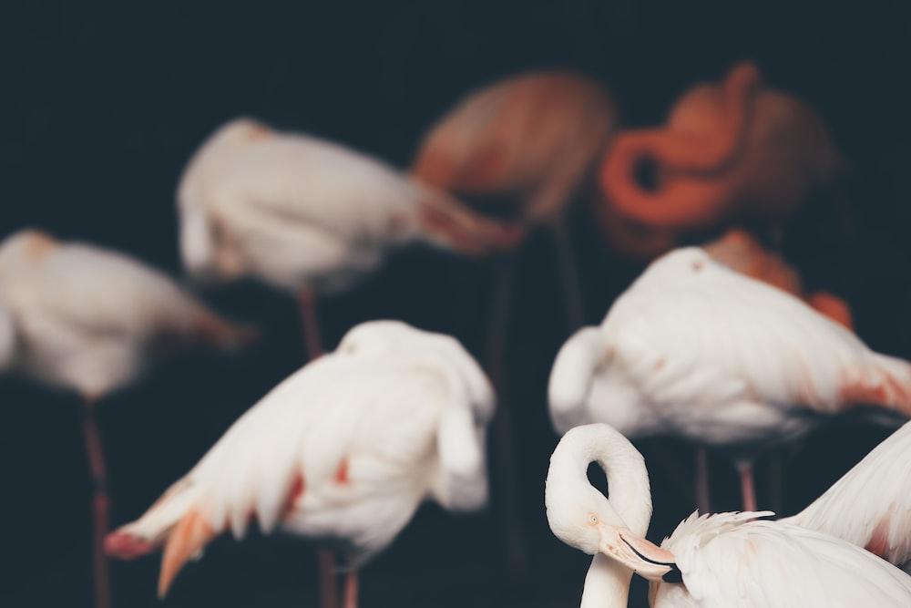 white and orange flamingos on water