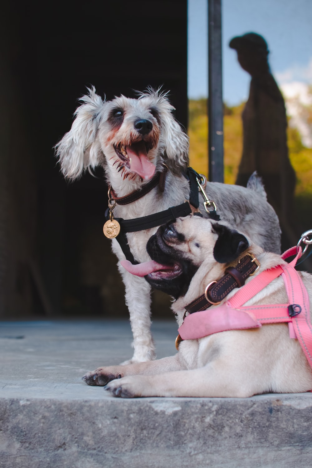 white and gray short coated small dog with pink harness