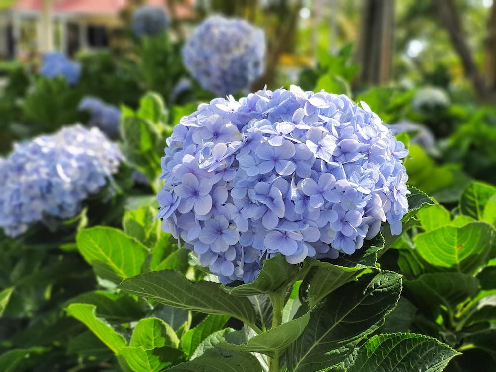 purple hydrangeas in bloom during daytime