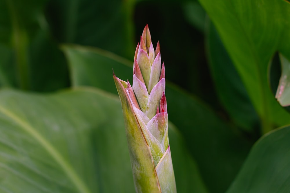 pink and green flower bud