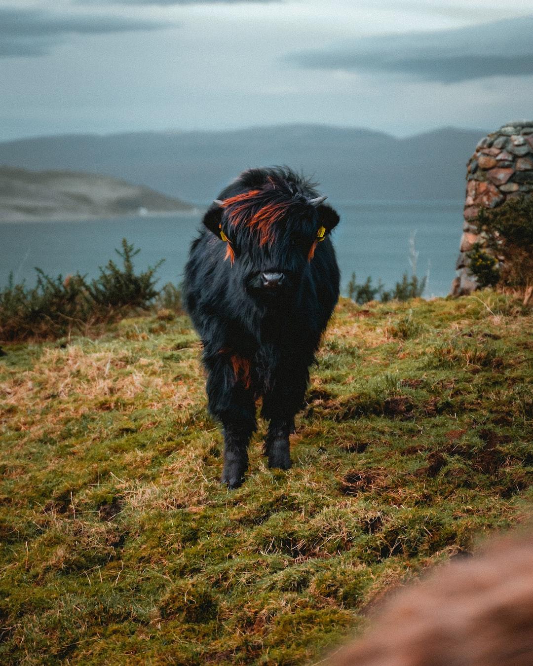 A smol (small) highlander calf looking very fabulous!