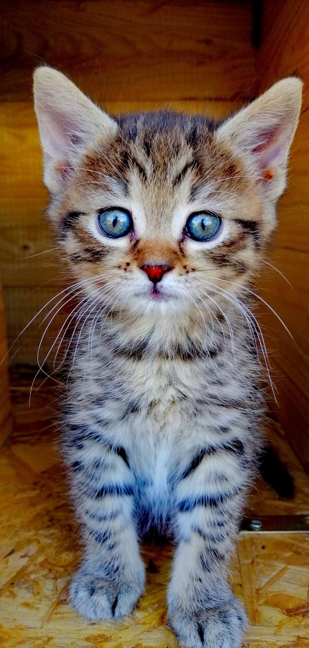 brown tabby cat on brown wooden floor