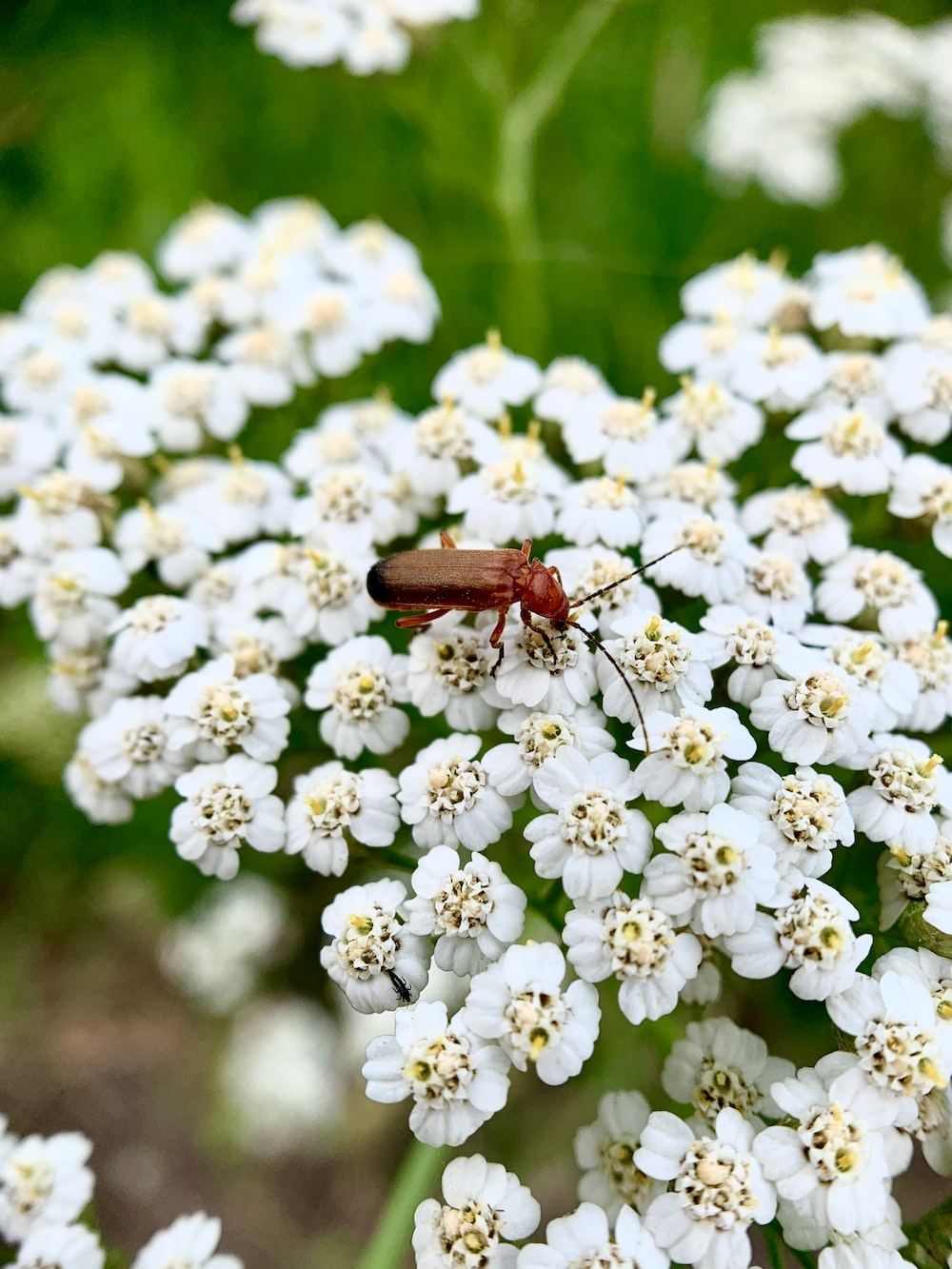 brown and black insect on white flowers