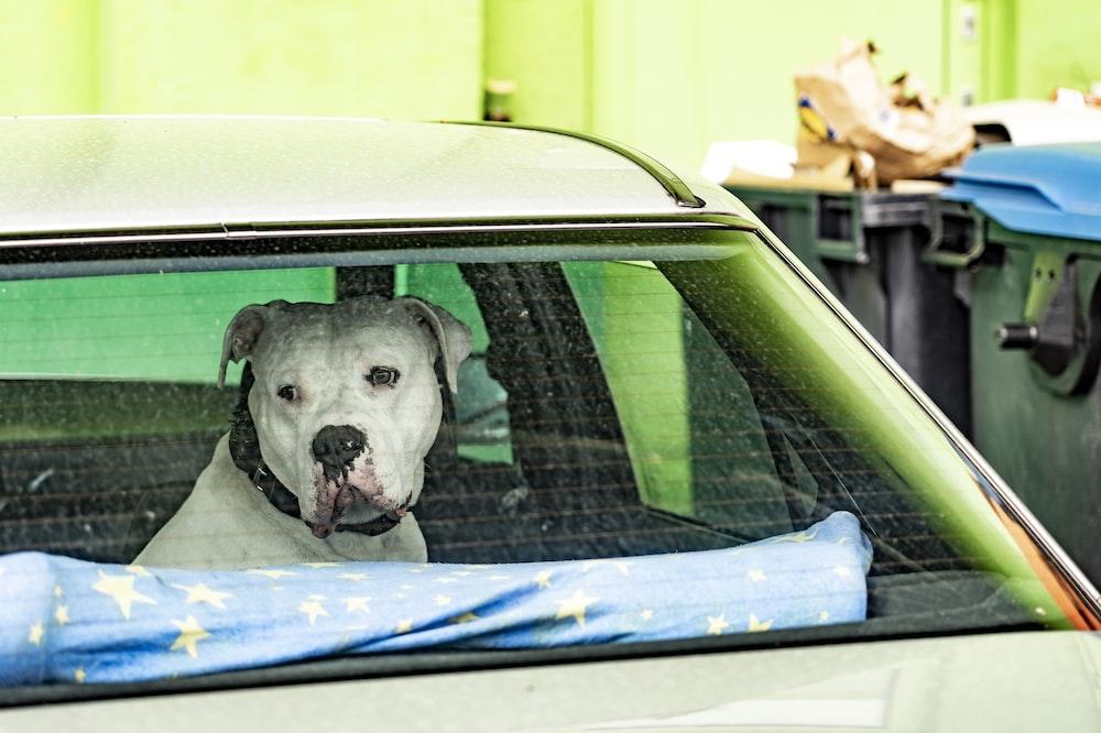 white and black short coated dog inside car