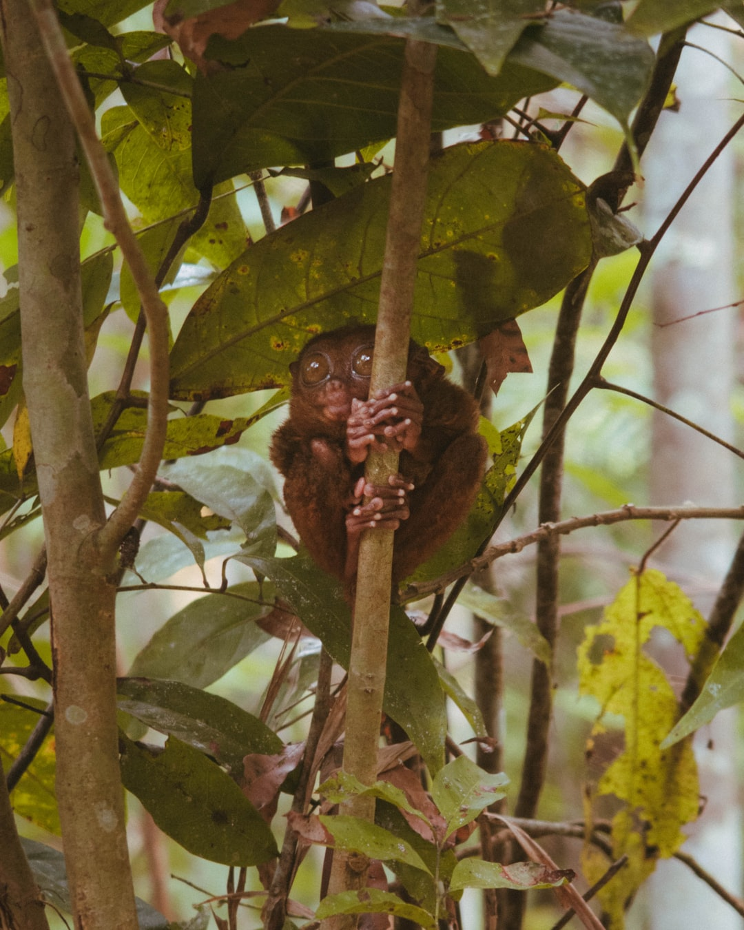 A tarsier clinging on to a small tree branch in Bohol, Philippines.