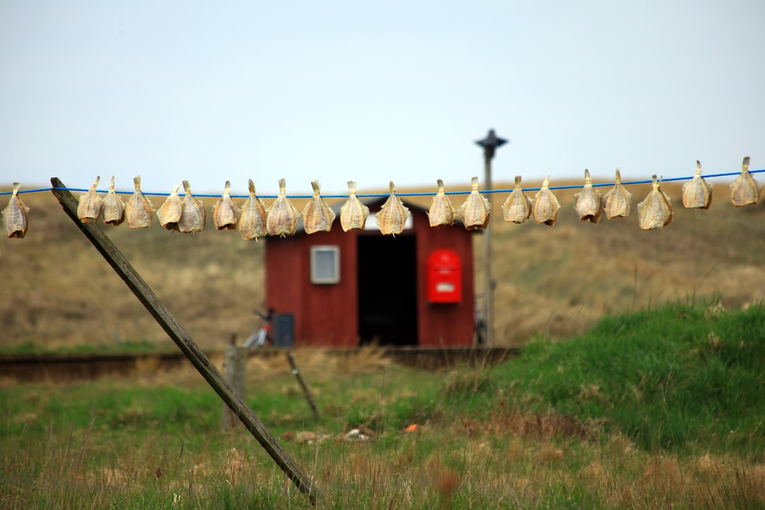 Dried cod on clothes line in Northern Denmark