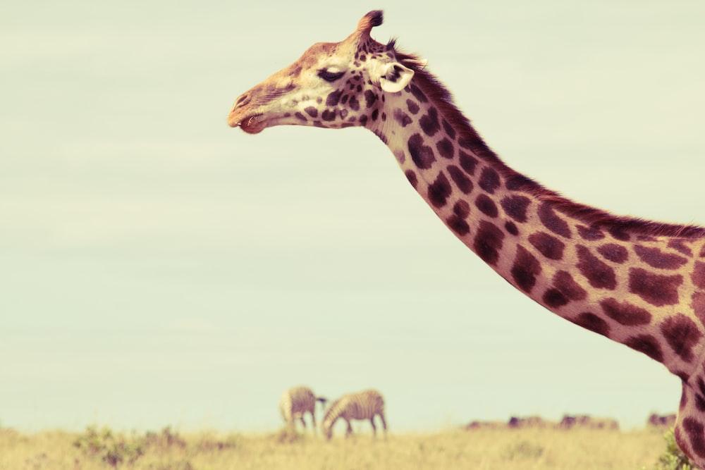brown and black giraffe on brown grass field