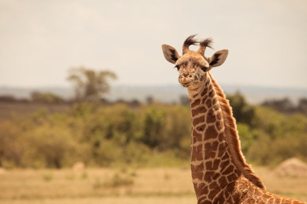 giraffe standing on brown grass field during daytime