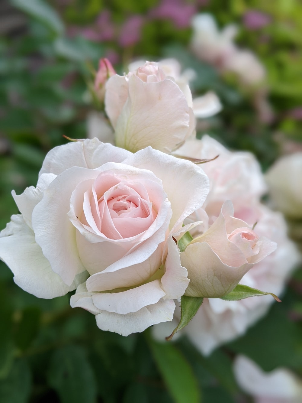 pink and white rose in bloom during daytime