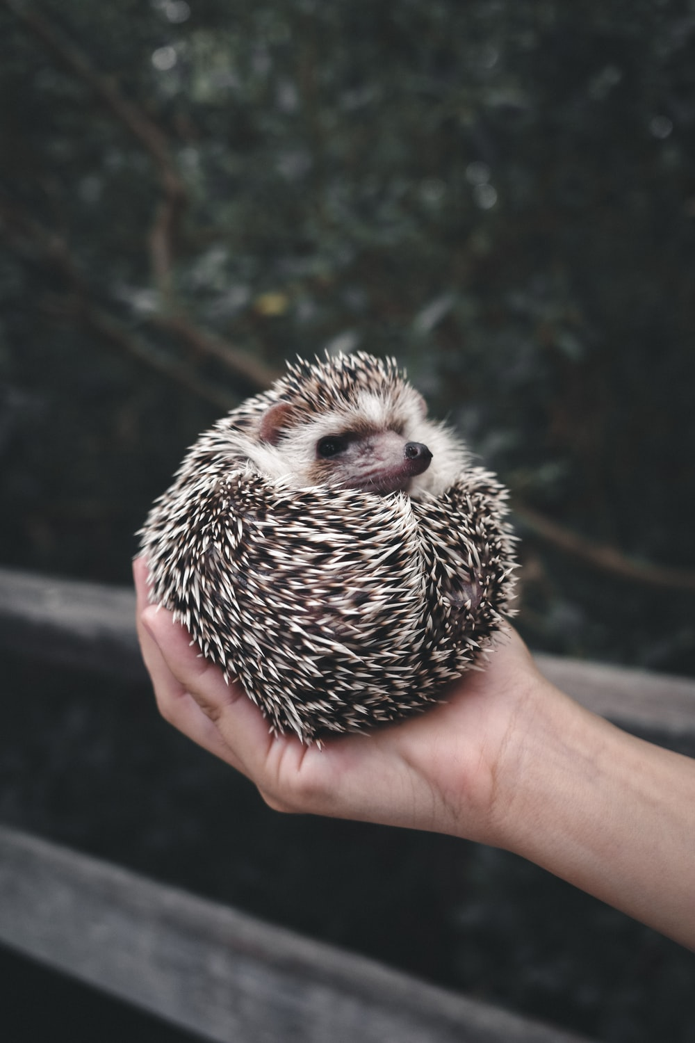 person holding white and black hedgehog