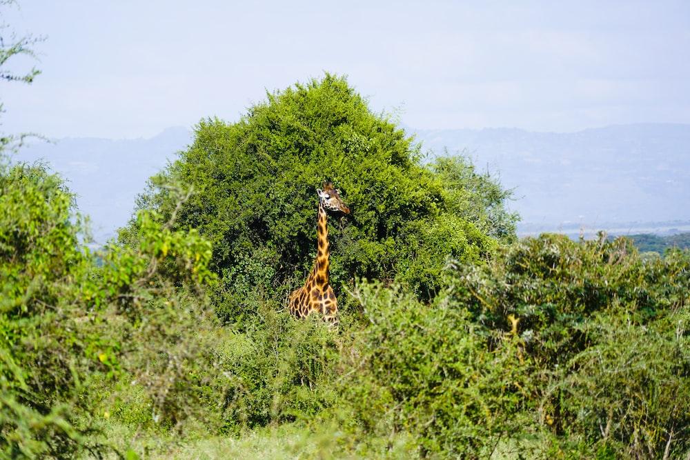 giraffe on green grass field during daytime