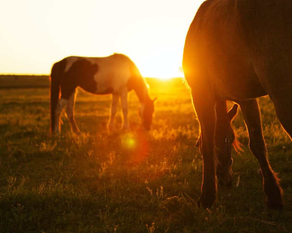 2 horses on green grass during sunset