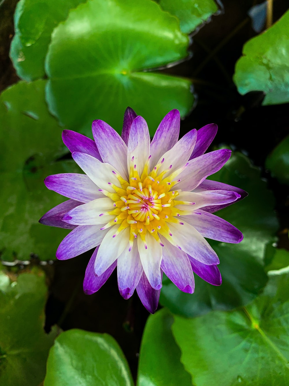 purple waterlily in bloom during daytime