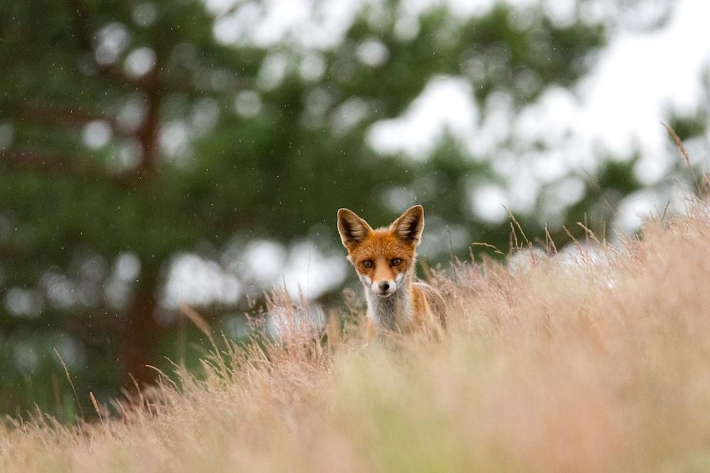 brown fox on brown grass during daytime
