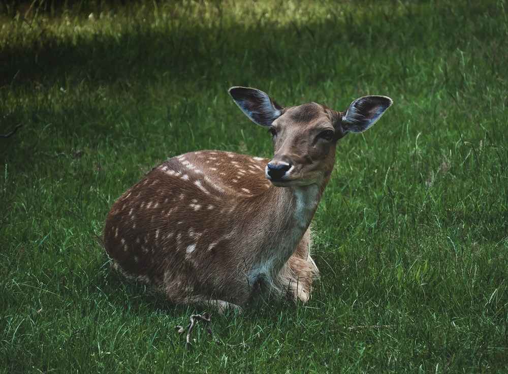 brown deer lying on green grass field during daytime