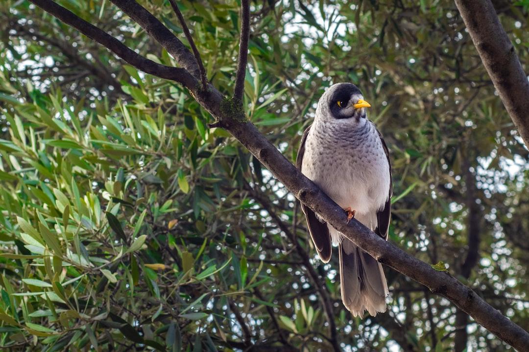 noisy miner bird in a tree